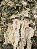 för kupatextur för bakgrund brunt trä bakgrund för stamdetaljtextur Gnarl treen Royaltyfri Bild