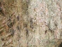 för kupatextur för bakgrund brunt trä bakgrund för stamdetaljtextur Gnarl treen Arkivbilder