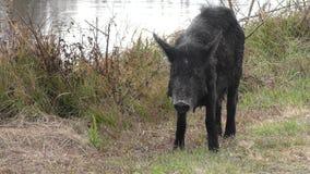 För lös gödsvin kvinnliga för matningar Florida in våtmarker arkivfilmer