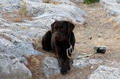 för labrador för bakgrundshund grå sikt för retriever för baksida valp royaltyfri fotografi