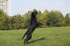 för labrador för bakgrundshund grå sikt för retriever för baksida valp Arkivbild