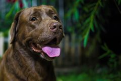 för labrador för bakgrundshund grå sikt för retriever för baksida valp choklad labrador Brun hund på grön backg Arkivfoto
