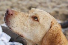 för labrador för bakgrundshund grå sikt för retriever för baksida valp Royaltyfri Foto