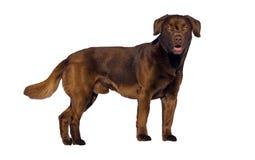 för labrador för bakgrundshund grå sikt för retriever för baksida valp Royaltyfri Bild