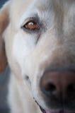 för labrador för bakgrundshund grå sikt för retriever för baksida valp Arkivfoton