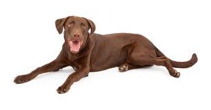 för labrador för choklad lycklig retriever valp Royaltyfria Foton