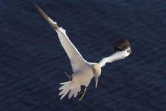 för landningmaterial för 3 gannet som bygga bo är nordligt royaltyfri bild