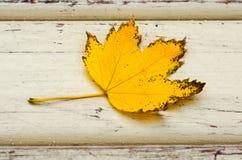 för leaflönn för höst bakgrund isolerad white Fotografering för Bildbyråer