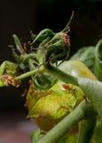 för leafnymphs för fel footed tomater för stank Royaltyfri Foto