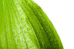för leafväxt för droppar grönt vatten Royaltyfria Bilder