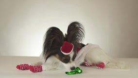För leksakspanieln för den roliga unga manliga hunden ser kontinental papillon i den Santa Claus dräkten omkring på det vita bakg stock video