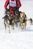 för lenkrace för 2012 hund sled switzerland Arkivbild