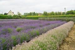 för liggandelavendel för aromatiskt fält växt- växt Royaltyfri Foto