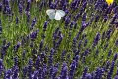 för liggandelavendel för aromatiskt fält växt- växt Royaltyfri Bild