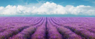 för liggandelavendel för aromatiskt fält växt- växt