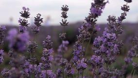 för liggandelavendel för aromatiskt fält växt- växt lager videofilmer