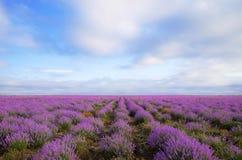 för liggandelavendel för aromatiskt fält växt- växt Arkivfoton