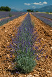 för liggandelavendel för aromatiskt fält växt- växt Arkivfoto