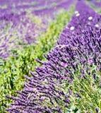 för liggandelavendel för aromatiskt fält växt- växt fotografering för bildbyråer