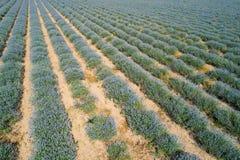 för liggandelavendel för aromatiskt fält växt- växt Royaltyfri Fotografi