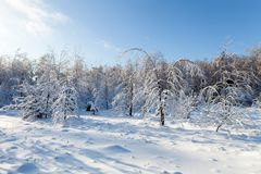 för ligganderussia för 33c januari ural vinter temperatur Vita träd under en snö Arkivbild