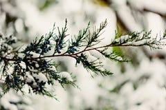 för ligganderussia för 33c januari ural vinter temperatur Cypressen fattar under snön Selektiv foc Royaltyfri Fotografi