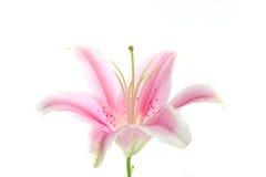för liljapink för bakgrund blomma isolerad white arkivbilder