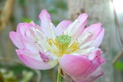 För liljavatten för sakral lotusblomma som blomma blommar i trädgård Arkivbild