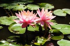 ` för Lilypads `-Nymphaeaceae, Arkivbild