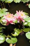 ` för Lilypads `-Nymphaeaceae, Royaltyfri Bild