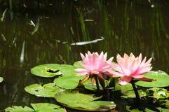` för Lilypads `-Nymphaeaceae, Royaltyfri Fotografi