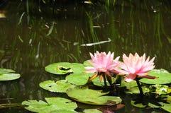 ` för Lilypads `-Nymphaeaceae, Fotografering för Bildbyråer