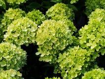 ` För limefrukt för vanlig hortensiapaniculata` liten, Fotografering för Bildbyråer