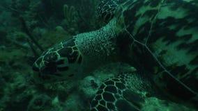 För livdykning för sköldpadda karibiskt hav för undervattens- Kuba video arkivfilmer