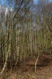 För livsmiljöbjörk för UK infödd skogsmark Royaltyfria Foton