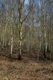 För livsmiljöbjörk för UK infödd skogsmark Arkivfoton