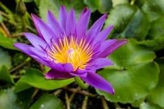 För lotusblommablomma för Closeup purpurfärgad blom Arkivfoton