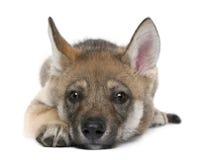 för lupuswolf för canis europeiskt barn arkivfoton