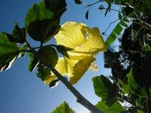 För má s för hibiskus gul blå himmel Royaltyfria Bilder