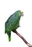 för macawpapegoja för fjädrar grön yellow Arkivfoto
