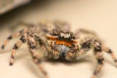 För makromateriel för banhoppning spindel specificerat foto arkivbild