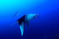 för maldives för adduatoll indisk stråle för hav manta Royaltyfri Foto