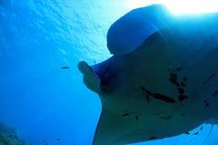 för maldives för adduatoll indisk stråle för hav manta Fotografering för Bildbyråer