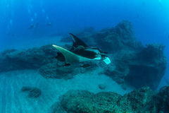 för maldives för adduatoll indisk stråle för hav manta Royaltyfria Bilder