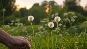 För man` s för hand för reva stam för lös blomma ut stock video