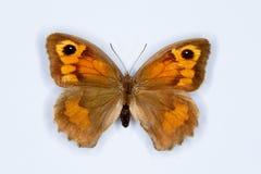 För Maniola för äng brun fjäril jurtina på vit Fotografering för Bildbyråer