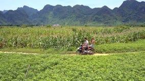 För manritt för ung kvinna moped mellan jordnöten och majsfält stock video