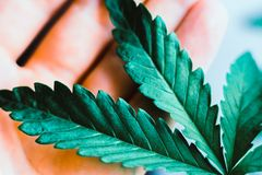 För marijuanamarijuana för växt medicinska sidor, härlig bakgrund för ung härlig makrocannabis royaltyfri bild