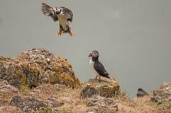 För matfratercula för lunnefågel väntande på arctica Arkivfoton