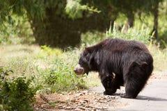 för melursusnamn för björn latinsk ursinus för sloth Arkivfoto